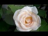 «Розы белые 2» под музыку Кайфуем!!!  - ФОТО